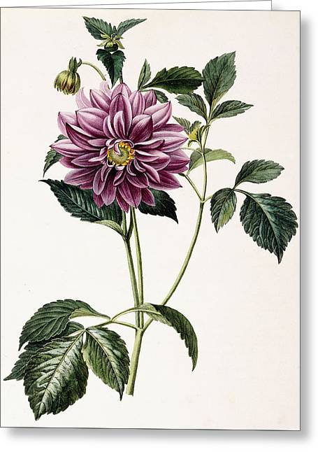 Dahlia Rosea Greeting Card by Honore Blanc