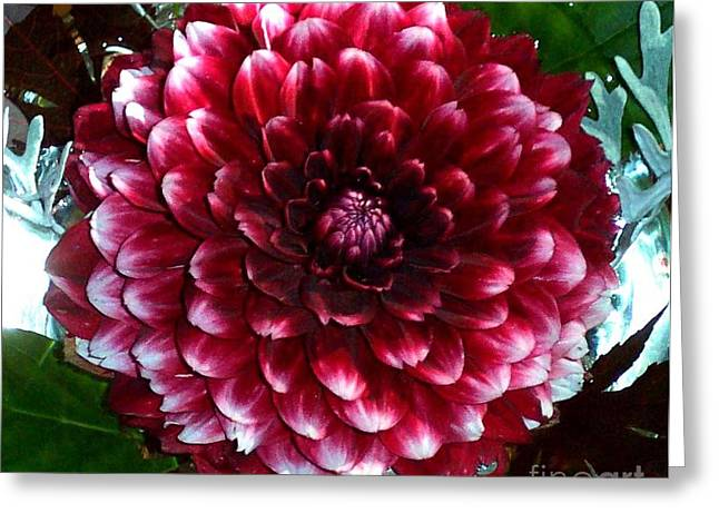 Dahlia Supreme Greeting Card by Norma Boeckler