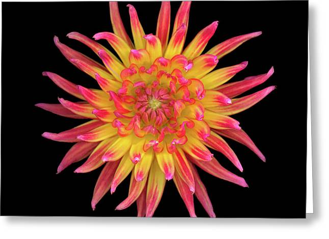 High Resolution Prints Greeting Cards - Dahlia Two Greeting Card by Christopher Gruver