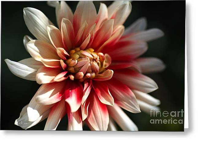Dahlia Warmth Greeting Card