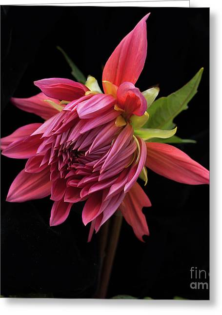 Dahlia 'wynn's King Salmon' Greeting Card