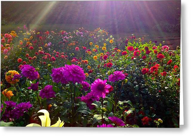 Dahlias Kissed By Sun-rays  Greeting Card