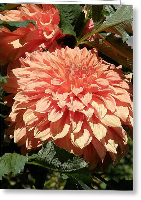 Greeting Card featuring the photograph Dahlias Photo by Judy Mercer
