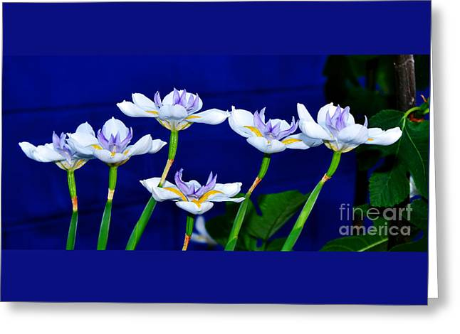Dainty White Irises All In A Row Greeting Card by Kaye Menner