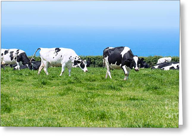 Dairy Cows In Cornwall Greeting Card