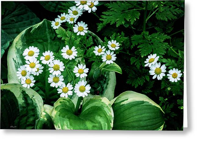 Daisies And Hosta In Colour Greeting Card