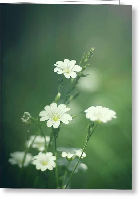 Daisies  Greeting Card by Andrew Proudlove