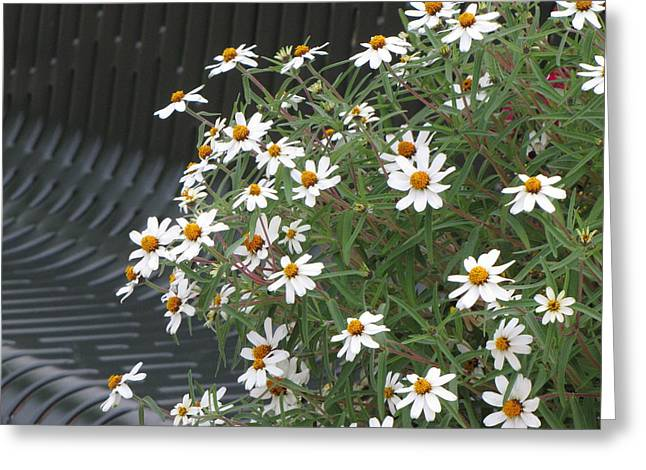 Daisies By The Bench Greeting Card by Sylvia Wanty