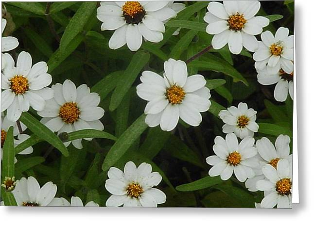 Greeting Card featuring the photograph Daisies by Frank Wickham