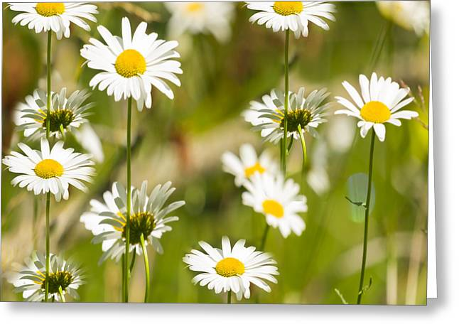 Daisies Galore 2014-1 Greeting Card
