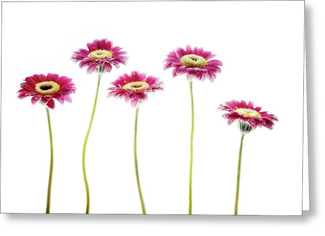 Greeting Card featuring the photograph Daisies In A Row by Rebecca Cozart