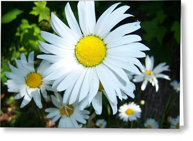 Daisies Greeting Card by Ken Day