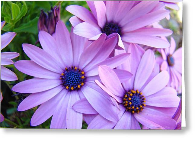 Daisies Lavender Purple Daisy Flowers Baslee Troutman Greeting Card by Baslee Troutman