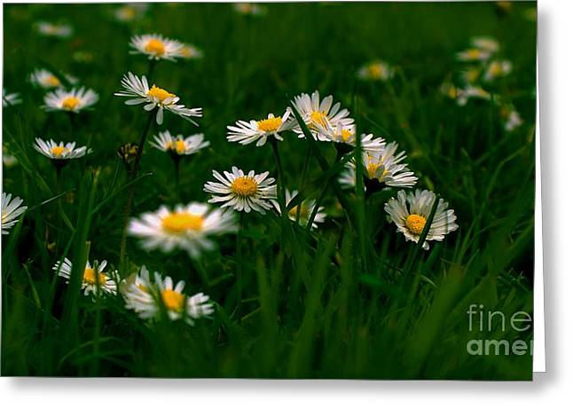 Greeting Card featuring the photograph Daisies by Louise Fahy