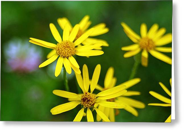 Daisies Greeting Card by Mario Brenes Simon