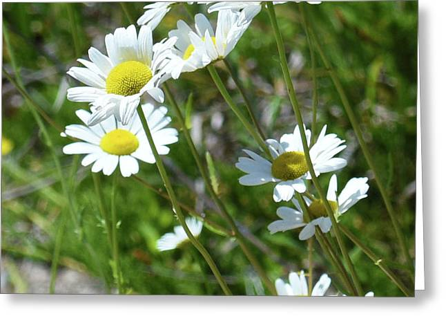 Greeting Card featuring the photograph Daisies Popping Up Everywhere by Sally Sperry