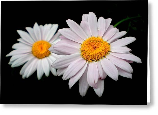 Daisies Greeting Card by Sholeh Mesbah