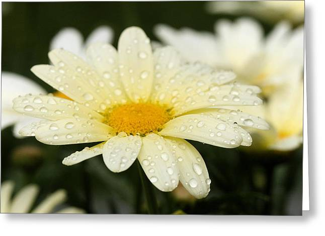 Greeting Card featuring the photograph Daisy After Shower by Angela Rath