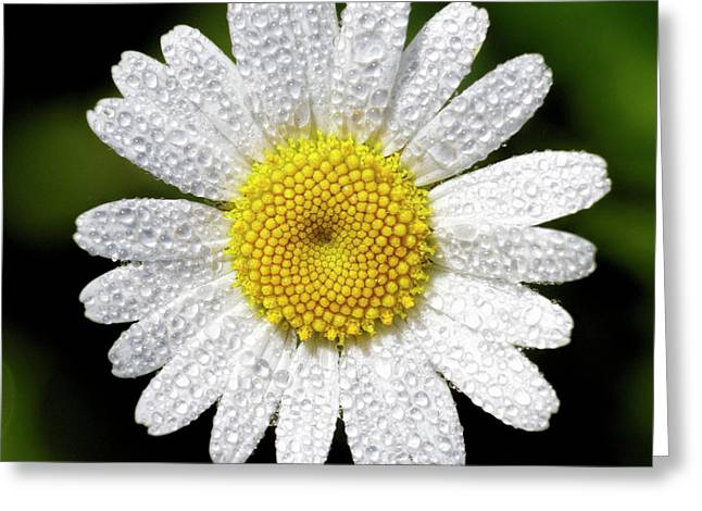 Daisy And Dew Greeting Card