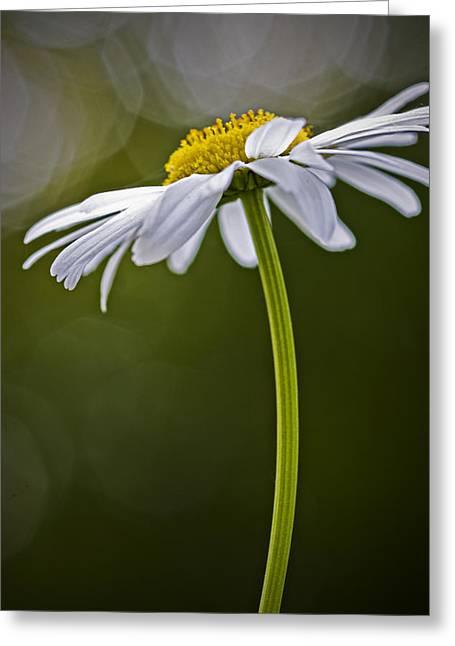 Daisy Greeting Card by Bob Decker