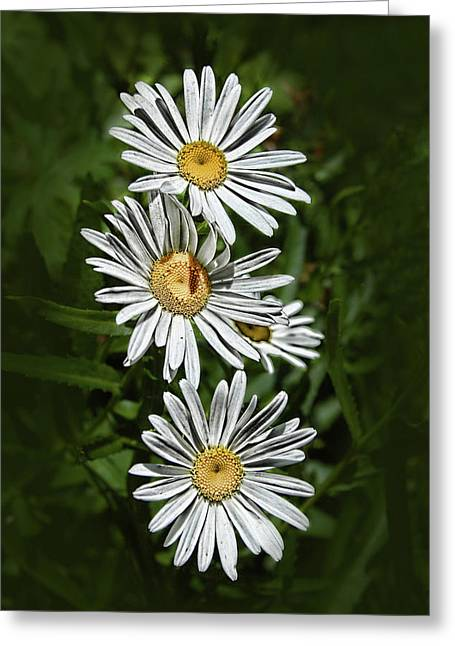 Daisy Chain Greeting Card by Marie Leslie