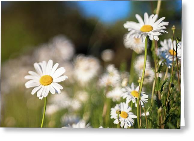 Daisy Greeting Card by Daniel Lih