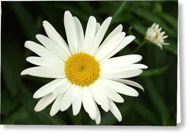 Daisy Days Greeting Card by Carol Sweetwood