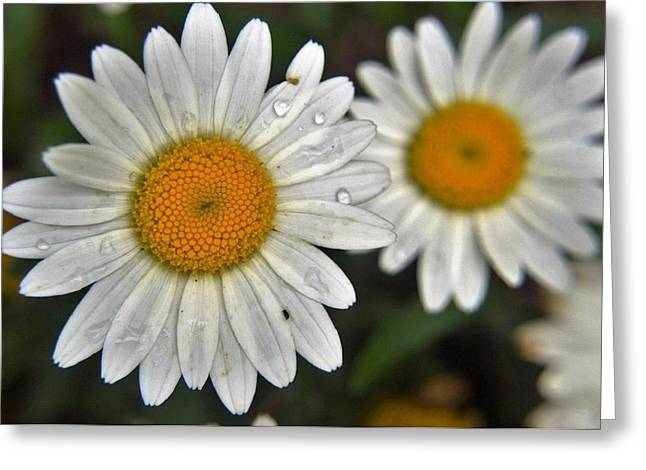 Daisy Dew Greeting Card