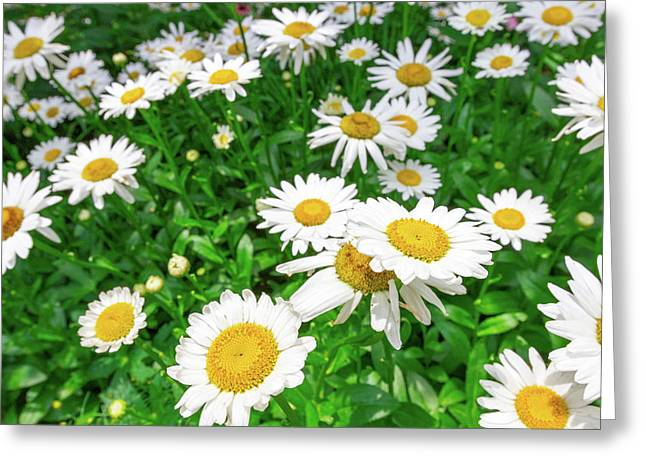 Daisy Garden Greeting Card