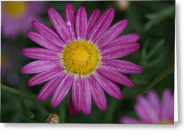 Greeting Card featuring the photograph Daisy by Heidi Poulin