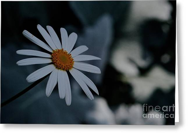 Daisy In Gloom Greeting Card