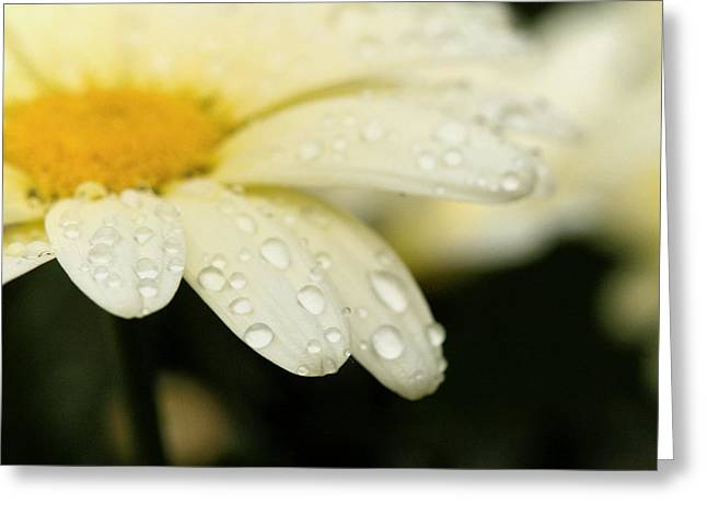 Greeting Card featuring the photograph Daisy In Spring by Angela Rath