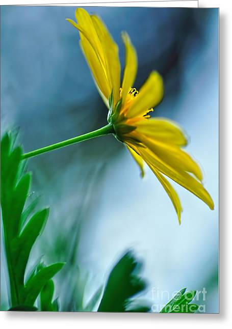 Daisy In The Breeze Greeting Card by Kaye Menner