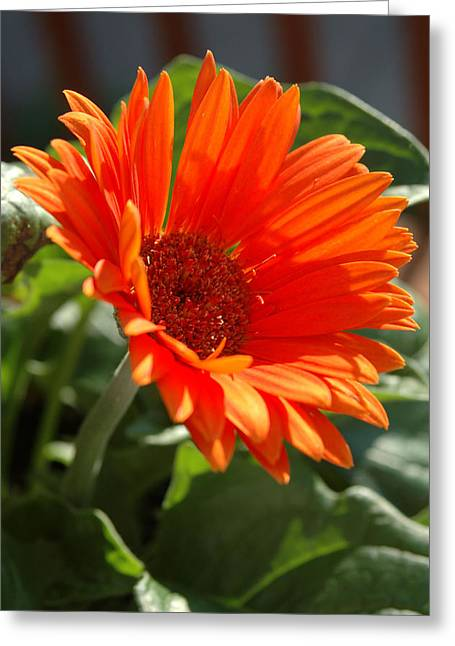 Kathy Schumann Greeting Cards - Daisy Greeting Card by Kathy Schumann