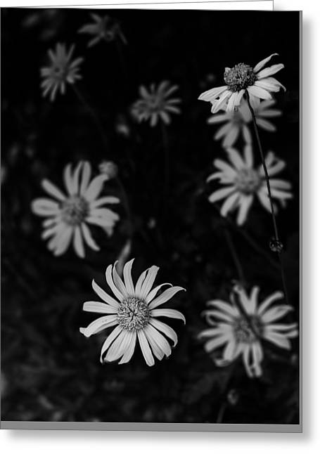 Daisy  Greeting Card by Mario Celzner