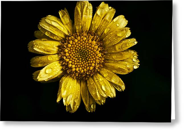 Daisy On Black Background Greeting Card by Rachel Morrison
