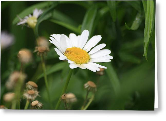 Daisy One Greeting Card by Alan Rutherford