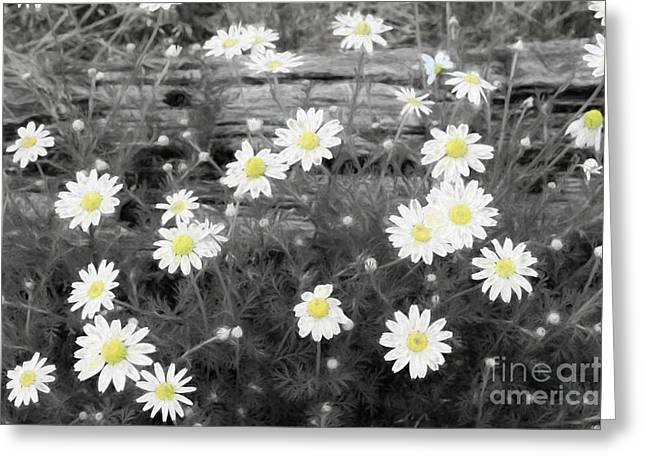 Greeting Card featuring the photograph Daisy Patch by Benanne Stiens