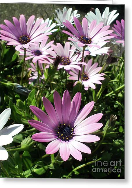 Garden Of Daisies Greeting Cards - Daisy Patch Greeting Card by Kaye Menner