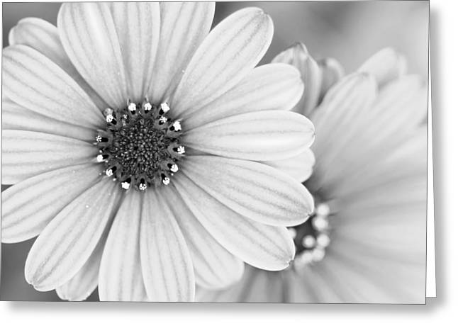 Daisy Study Greeting Card