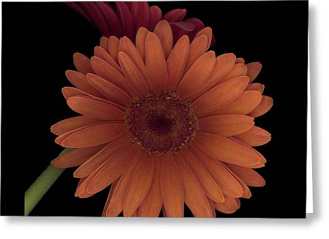 Gerber Greeting Cards - Daisy Tilt Greeting Card by Heather Kirk