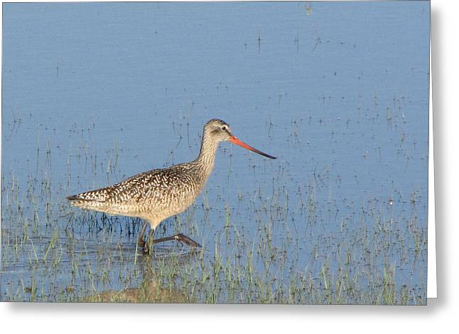 Dakota. Marbled Godwit Greeting Card by Marion Muhm