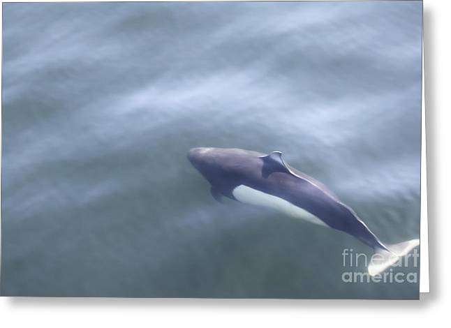 Dall Porpoise Greeting Card by Carolyn Brown