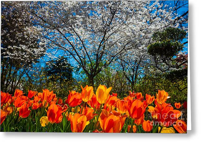 Dallas Arboretum Tulips And Cherries Greeting Card by Inge Johnsson