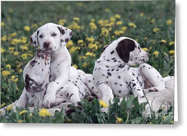 Dalmatian Puppies Playing In Flowers Greeting Card