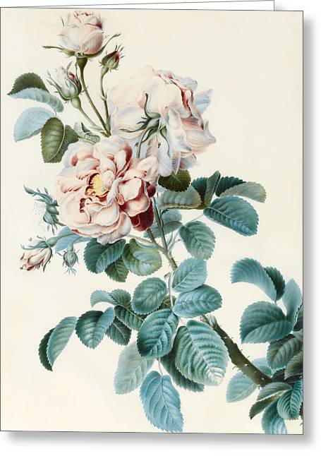 Damask Rose Greeting Card by CM Bucher