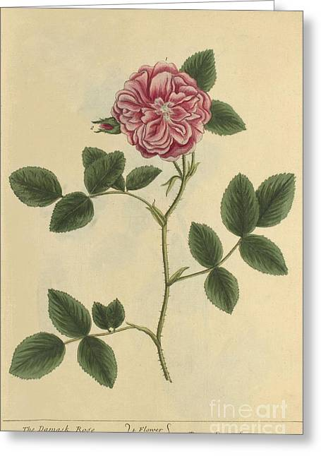 Damask Rose, Medicinal Plant, 1737 Greeting Card by Science Source
