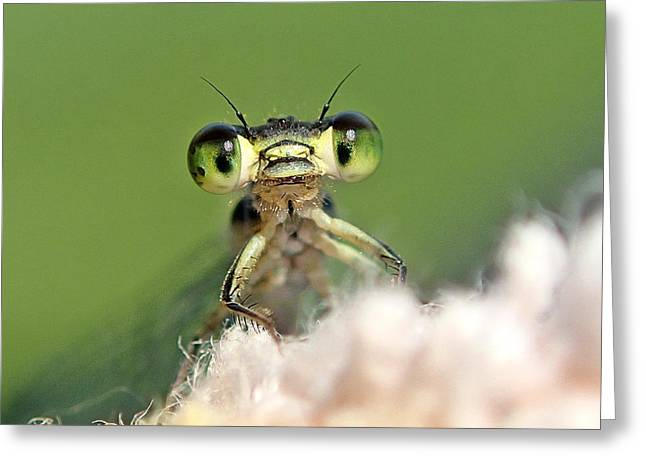 Greeting Card featuring the photograph Damsefly by Lorella  Schoales