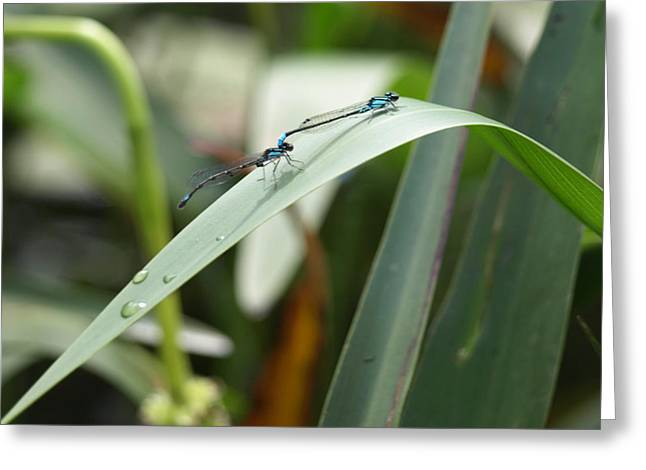 Damselflies Greeting Card by Katherine Huck Fernie Howard