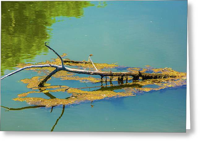 Greeting Card featuring the photograph Damselfly On A Lake by Tom Potter